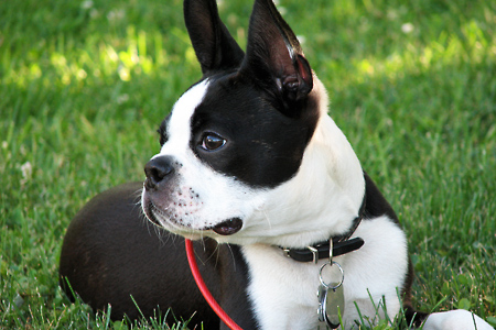 bostonterrier.jpg