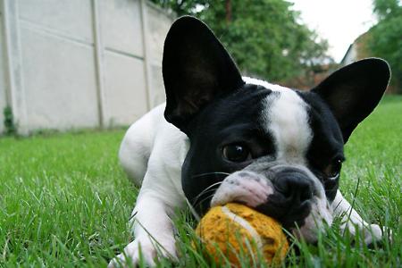 Resultado de imagen para 犬 french bulldog